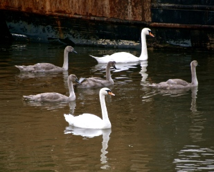 mute swans, cygnets, eyemouth harbour